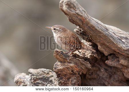 Photo of an alert little jenny wren