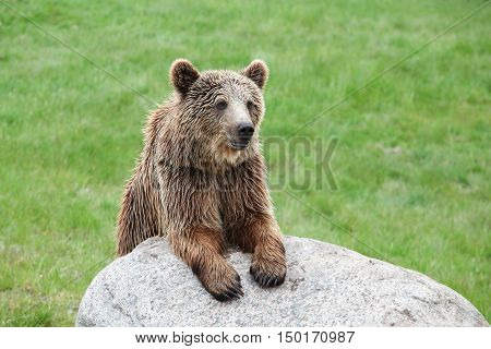 Portrait of brown bear in the nature