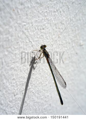 Close up Damselfly holding on cement wall