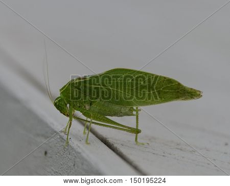 A Katydid, also known as a Bush Cricket,  (Family Tettigoniidae) pauses for some grooming.