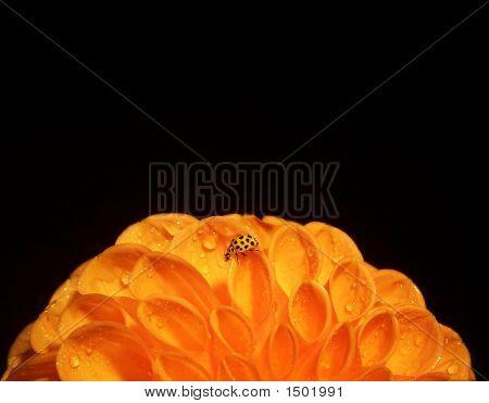 Orange Dahlia With Yellow Ladybird