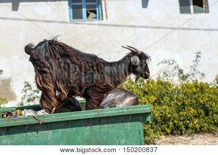A Black He-goat On Top A Bin