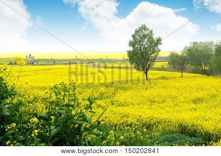 Canola flower and tourists under the blue sky
