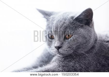 Young cute cat close-up portrait. The British Shorthair pedigreed kitten with blue gray fur