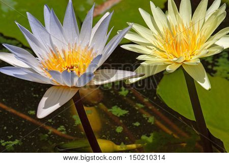 Two water lily sticking out of the water on a background of leaves.