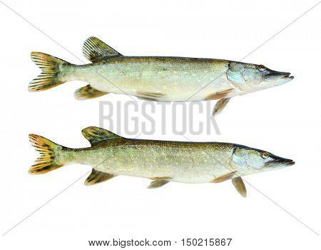 Two The Northern Pike (Esox Lucius) isolated on white background. Fishes are source of tasty meat appropriate for diet.