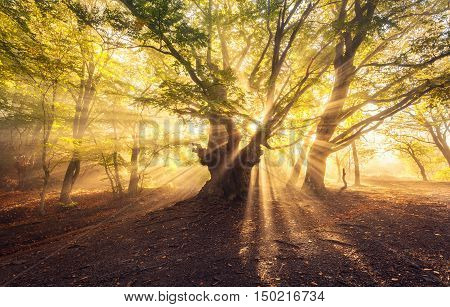 Magical Old Tree With Sun Rays At Sunrise  Foggy Forest
