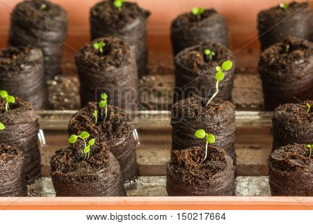 Young saplings of petunia(Petunia Juss) plants in peat tablets