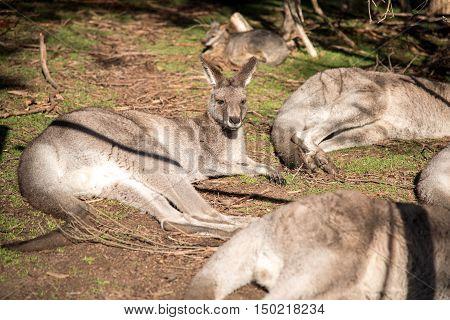 Australian kangaroo sitting on field in Moonlit Sanctuary Wildlife Conservation Park near Melbourne Australia