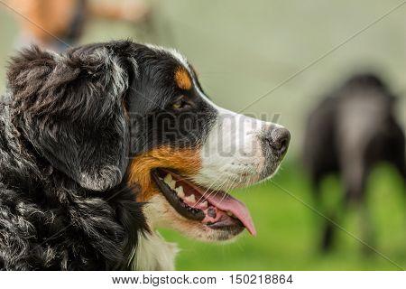 Close-up of a dog's head Bernese Mountain Dog (Berner Sennenhund)