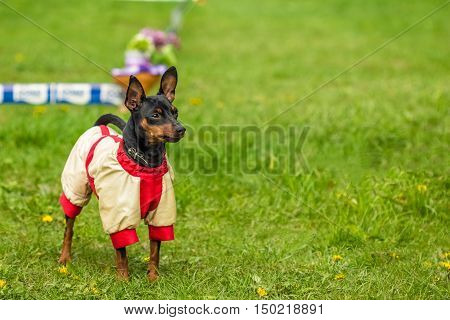 Beautiful Pincher Pinscher in a funny jacket outdoors on green grass