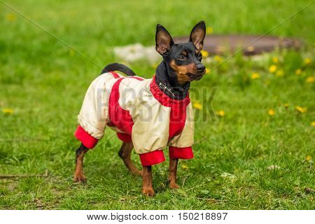 Pincher Pinscher standing on green grass in a fun beautiful white red sweater