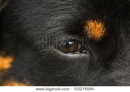 Eye of young black dog Rottweiler closeup