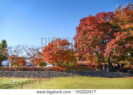 colorful maple tree in Autumn season at Momiji tunnel near Kawaguchiko lake and Fuji mountain view beautiful nature landscape in Japan