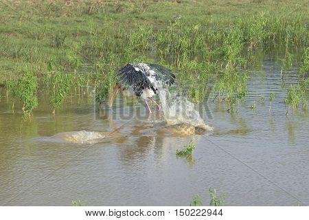 Indian Marabu is saved from the attack of a crocodile. Yala, Ceylon