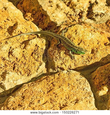 Green lizard (Lacerta viridis) basking in the sun.