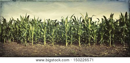 Panorama of young corn plants in a field with grungy texture applied