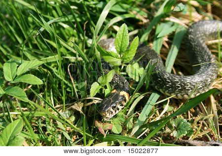 snake reptile creeping in the green grass poster