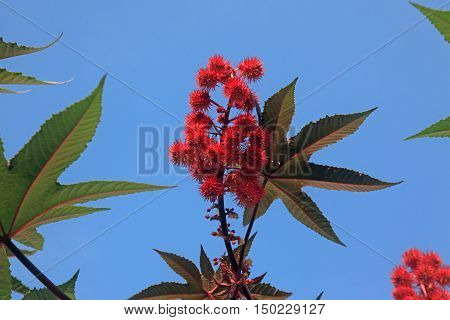 Castor oil plants with fruits on a sky background.