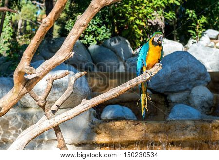 Blue-and-yellow macaw (Ara ararauna) Macaw parrot exotic bird