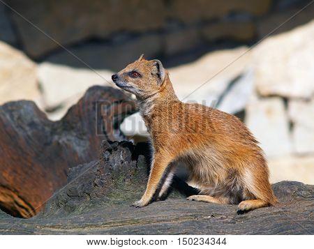 Yellow mongoose sitting on tree stump - Cynictis penicillata