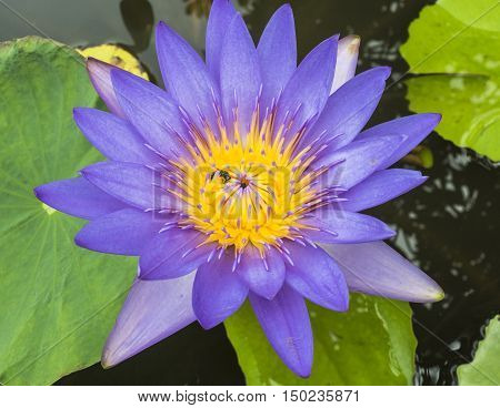 Violet lotus flower with yellow pollen and bee and green leaf.