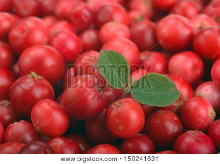 ripe red cranberries as background with leaves