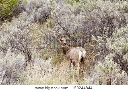 Shot of a young deer looking back amidst bushes off highway 99 on the way to Lillooet BC on a bright overcast day in April.