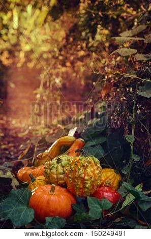 closeup of some different pumpkins in the garden or in the woods surrounded by ivy leaves, with a mysterious ambiance