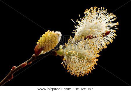 Macro of flowering pussy willow buds isolated on black background.