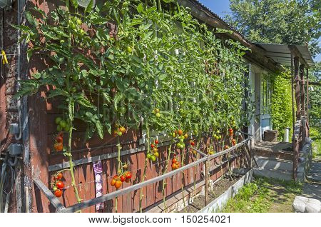 The bed with ripe tomato (De Barao cultivar) against the wall of an old wooden country house. Landscape orientation.