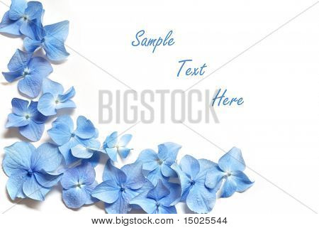 Blue hydrangea border on white background.  Macro of tiny petals with copy space included.