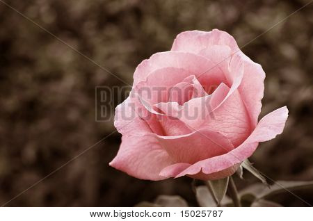 Soft pink rose in garden with extremely shallow dof.  Partially desaturated with sepia tones added.