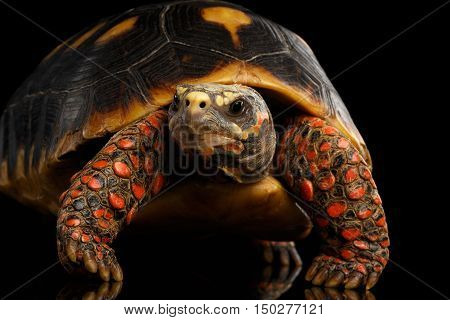 Close-up of Red-footed tortoises, Chelonoidis carbonaria, Isolated black background with reflection, front view on funny pose
