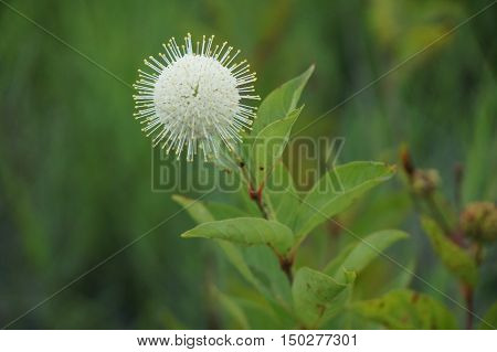 Buttonbush Flower In The Swamps Of The Southern United States