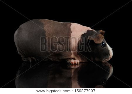 Skinny Guinea pig tri-color like ice cream on isolated black background with reflection, profile view