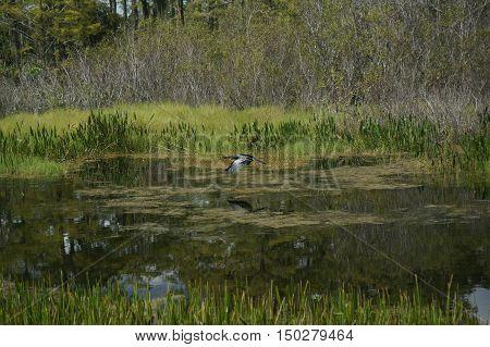 anhinga (snakebird) flying in marsh over the grass