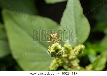 Hemiptera Nezara Viridula Heteroptera Pentatomidae Palomera Prasina On A Leaf.