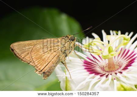 Butterfly Skippers ( Hesperiidae ) on flower .