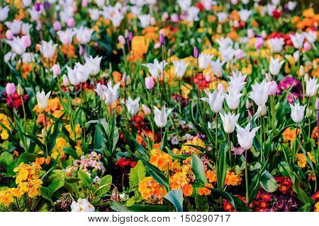 Springtime flowerbed bloom wildflower and tulip mixed colourful