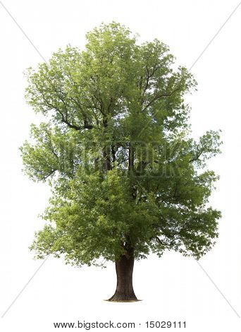 Huge isolated old tree (For more ISOLATED TREES please visit my portfolio)
