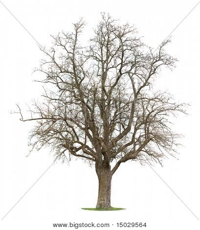 Isolated Apple Tree in between the season of winter and spring