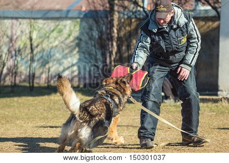 Gomel Belarus - March 27 2016: German Shepherd in the classroom for protection from dog handler. Biting dog. Alsatian Wolf Dog. Deutscher dog
