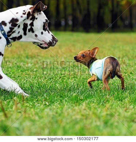 Small dog toy Terrier likes to play with her Dalmatian summer in the Park scared fear expresses obedience
