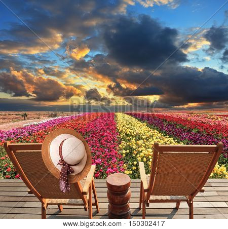 Spring buttercups - ranunculus Bloomingdale - grow multi-colored strips. Two chaise lounges for rest stand on a scaffold at a picturesque flower field. On one chaise lounge the elegant straw hat hangs