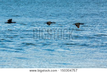 Flock of pelagic cormorant flying over the Pacific Ocean.