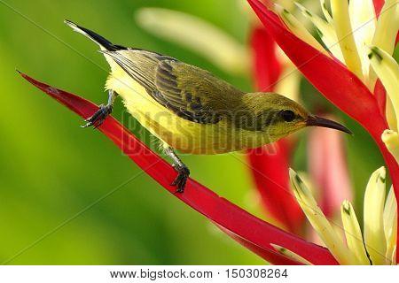 Bright Yellow Long Beak Sunbird Tropical Flower Macro