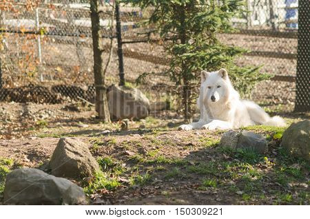 Artic Wolf At Zoo