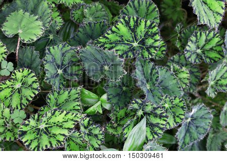 Close up view of begonia leaves