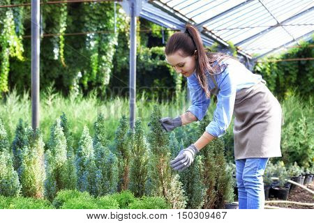 Pretty gardener looking after young coniferous plants in greenhouse